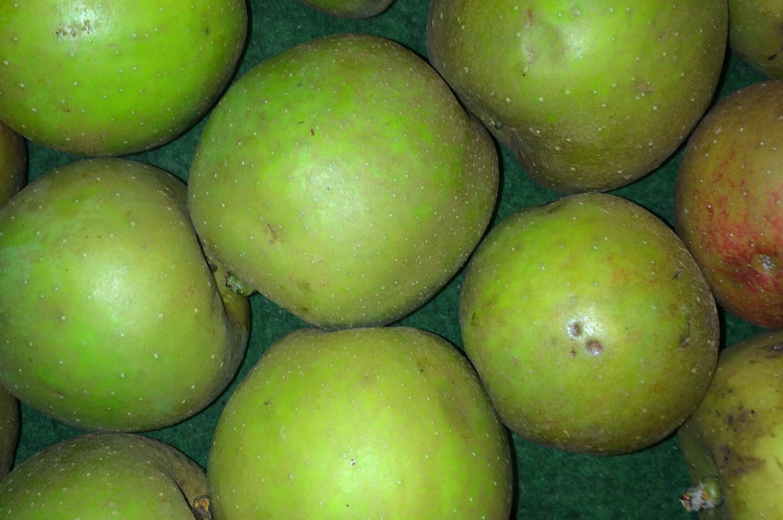 Goudreinette moesappel